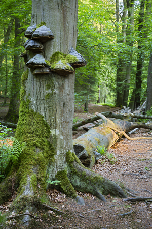 the ardennes: Fungus and moss growing on a tree trunk in a peaceful forest in the Ardennes, Belgium