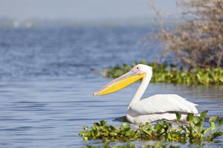 great white pelican: Great White Pelican at Lake Naivasha in Kenya.