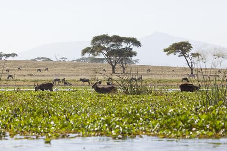 naivasha: Waterbucks at Lake Naivasha in Kenya wading through the overgrown lake shore on an island.