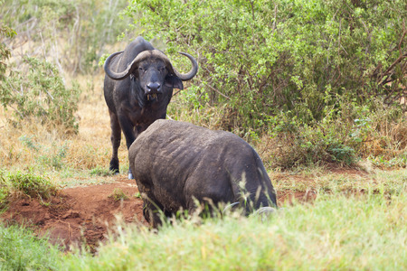 the water hole: Cape Buffalos at a water hole in Tsavo East National Park in Kenya.