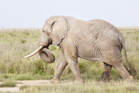 amboseli: An African Elephant in Amboseli National Park in Kenya. Stock Photo
