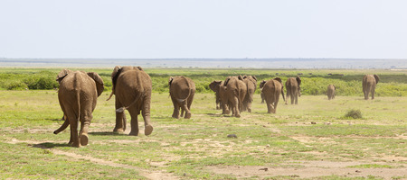 animales safari: Una manada de elefantes africanos en el Parque Nacional de Amboseli en Kenia en su camino a un pozo de agua desde atrás. Foto de archivo