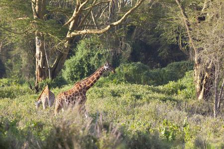 nakuru: Giraffes in Nakuru National Park in Kenya.