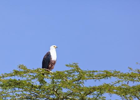 lake naivasha: African Fish Eagle on a tree at Lake Naivasha, Kenya Stock Photo