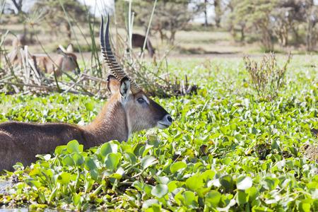 naivasha: A Waterbuck at Lake Naivasha in Kenya wading through the overgrown lake shore.