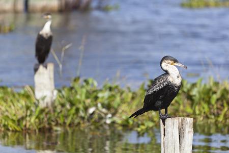 cormorants: Great Cormorants at Lake Naivasha, Kenya