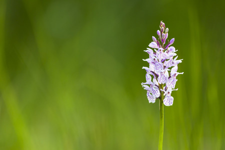 venn: An Orchid in the wide moor landscape of the High Fens, Eifel, Belgium. Stock Photo