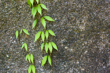 climbing plant: Fresh leafs of a climbing plant on granite rock in Mahe, Seychelles