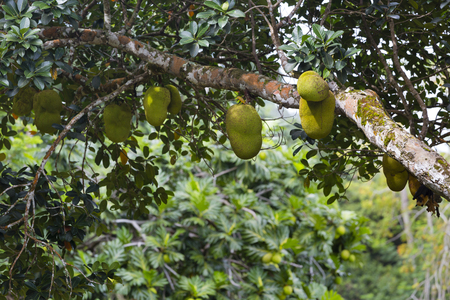 lots: Lots of Jackfruits on a tree in the hills of La Digue, Seychelles Stock Photo