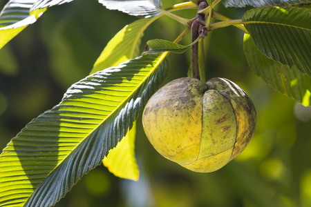A Chalta fruit on its tree Dillenia Indica in the botanical garden of Mahe, Seychelles Standard-Bild