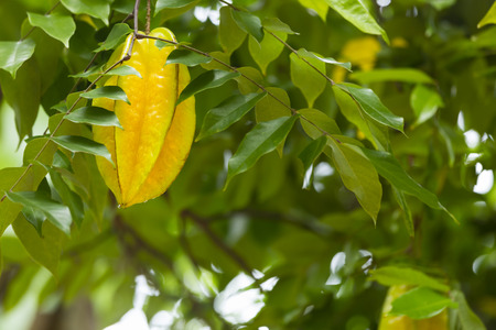 la digue: Carambola, also known as star fruit on a tree in the hills of La Digue, Seychelles