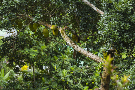 la digue: Lots of Jackfruits on a tree in the hills of La Digue, Seychelles Stock Photo