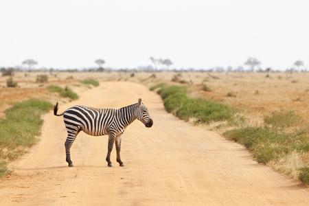 zebra crossing: A Zebra crossing a dirt road in Tsavo East National Park in Kenya.