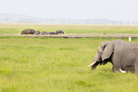 amboseli: An African Elephant in front of a group of hippos in Amboseli National Park in Kenya.