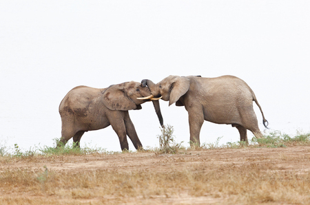 fighting bulls: African Elephants fighting in Tsavo East National Park in Kenya.