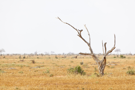 Dead tree and landscape in Tsavo East National Park in Kenya. Imagens