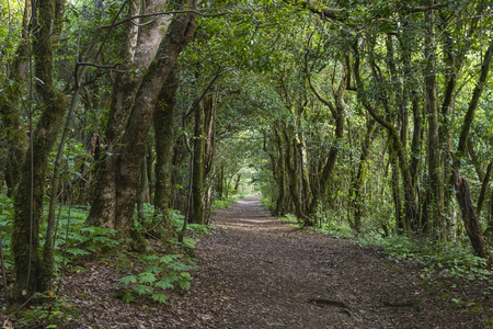 laurel mountain: Footpath through a Laural Forest in the Anaga mountains in Tenerife, Spain.
