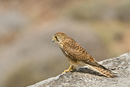 A Common Kestrel on a wall in Tenerife, Spain with selective focus.
