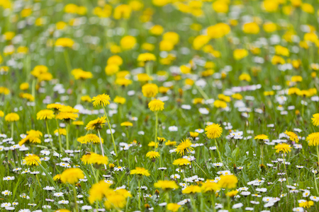 A meadow with lots of yellow dandelions and some other flowers in between, focus on foreground. Taken in South Germany.