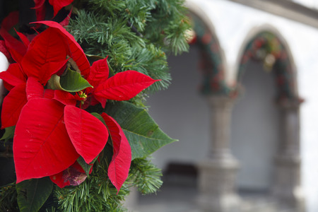 Poinsettia flowers as christmas decoration in the center of Santa Cruz De La Palma. 免版税图像
