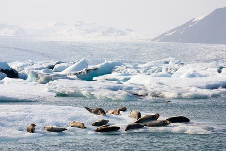 Some seals on top of an iceberg in the Joekulsarlon glacier lagoon, Iceland. Stock Photo
