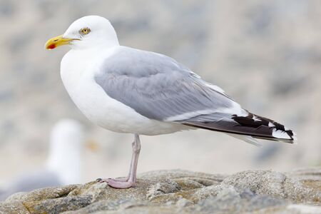 A seagull at the North Sea in Norderney, Germany.