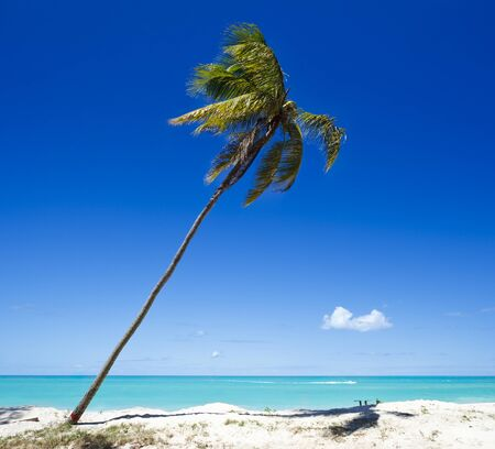 A single palm tree at a perfect caribbean beach in Antigua with blue sky. Stock Photo