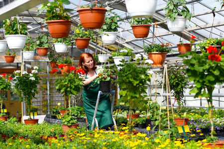 Woman working in a nursery - Greenhouse with colorful flowers