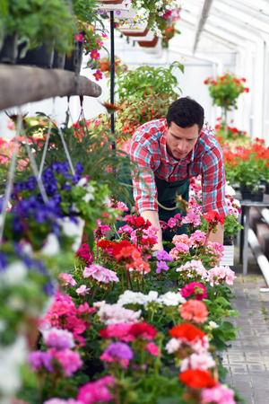 Gardener works in a greenhouse of a flower shop