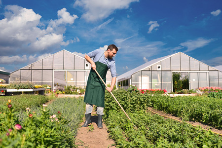 farmer in agriculture cultivating vegetables - greenhouses in the background