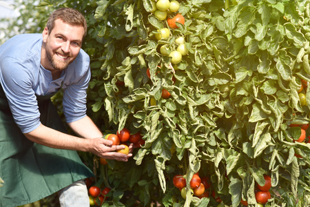 gardener/ farmer works in the greenhouses growing tomatoes Archivio Fotografico - 106926112