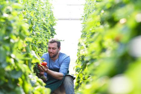 happy farmer growing tomatoes in a greenhouse Archivio Fotografico - 106926111
