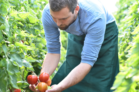gardener/ farmer works in the greenhouses growing tomatoes Archivio Fotografico - 106926113