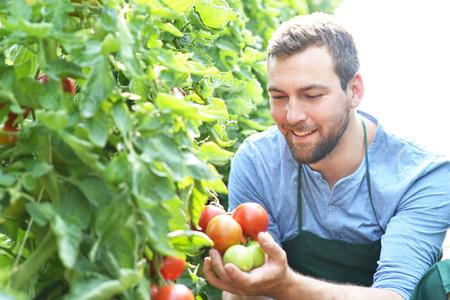 agricultor feliz cultivando tomates en invernadero Foto de archivo