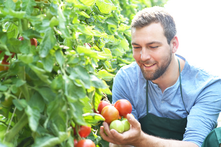 happy farmer growing tomatoes in a greenhouse Stockfoto