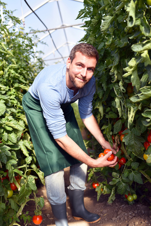 happy farmer growing tomatoes in a greenhouse Reklamní fotografie