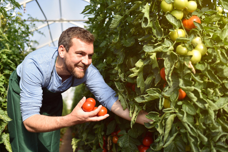 happy farmer growing tomatoes in a greenhouse Stock Photo