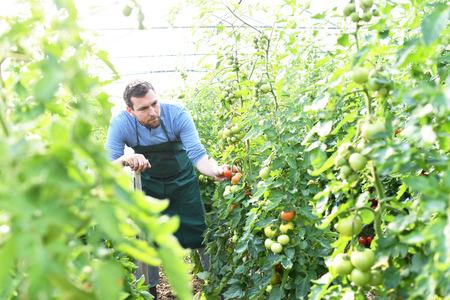 gardener/ farmer works in the greenhouses growing tomatoes Reklamní fotografie - 106926374