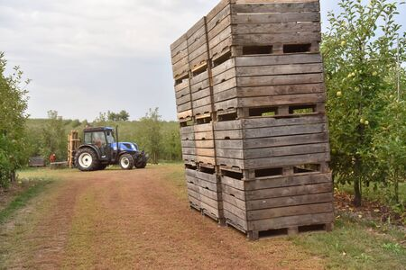 tractor loading on an apple tree plantation with wooden boxes
