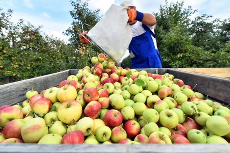 harvesting fresh apples on a plantation - workers, fruit trees and boxes of apples Reklamní fotografie - 149666088