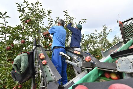 saxony, Germany - september 26, 2018: harvest assistant on a machine for automatic harvesting of ripe fresh apples on a plantation