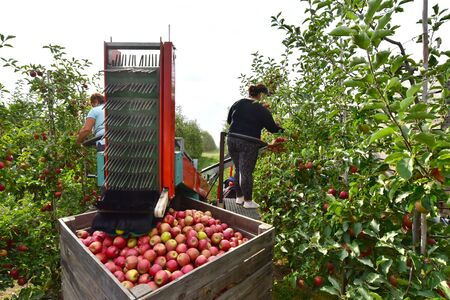 Apple harvesting - workers on a modern machine harvest apples on the plantation