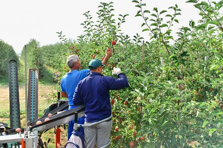 harvesting fresh apples on a plantation - workers, fruit trees and boxes of apples  免版税图像