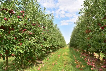 apple trees on a plantation - fruit growing and harvesting  免版税图像