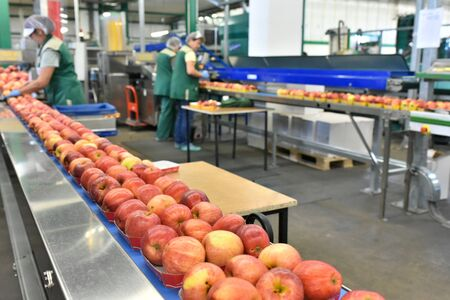 food factory: assembly line with apples and workers  免版税图像