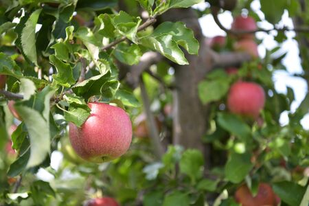 Apple trees on a plantation - fruit growing and harvesting