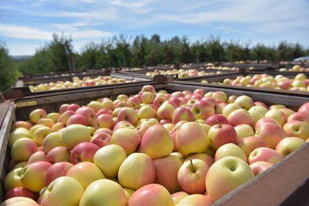 Apple harvest - crates of fresh apples for transport and sale Reklamní fotografie - 149663509