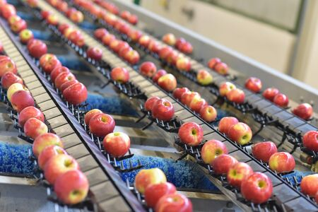 Transport of freshly harvested apples in a food factory for sale