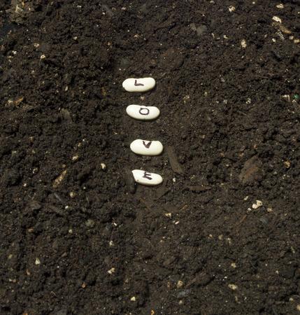 siembra: Sembrando semillas de amor en una fila jard�n con un suelo rico. Foto de archivo
