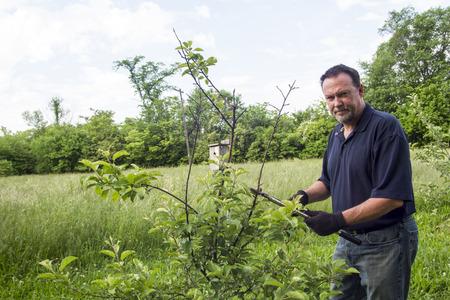 A organic farmer pruning a dwarf apple tree.